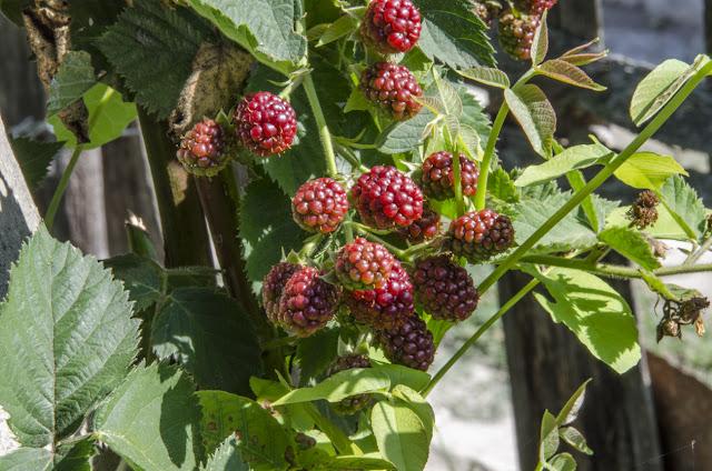 Blackberry Fruit Plant - Lat. RUBUS FRUTICOSUS