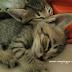 Boleh ke Beri Air Kelapa Untuk Anak Kucing Sakit ?