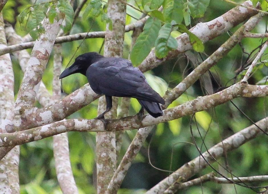 asiatic crows birds