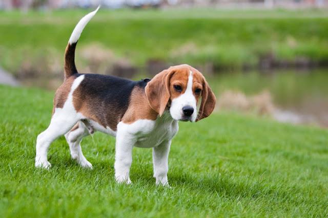 10 Jenis Anjing yang Paling Cantik di dunia