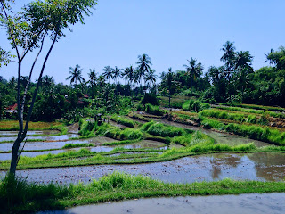 Terrace Rice Field Landscape At Ringdikit Village North Bali Indonesia