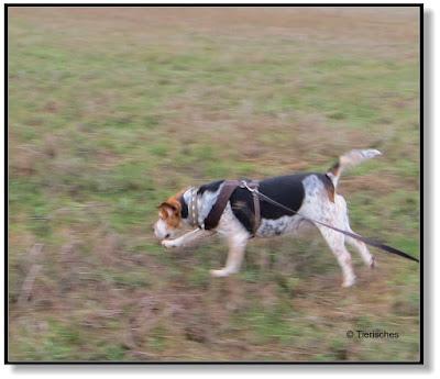 ein Beagle muss flitzen
