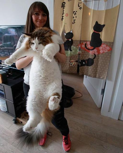 Mèo ú 13kg mặt lúc nào cũng như hờn cả thế giới
