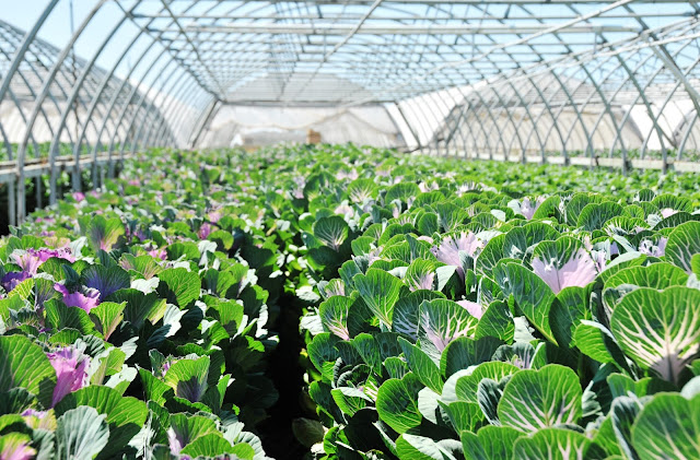 Sun Valley Group Brassica