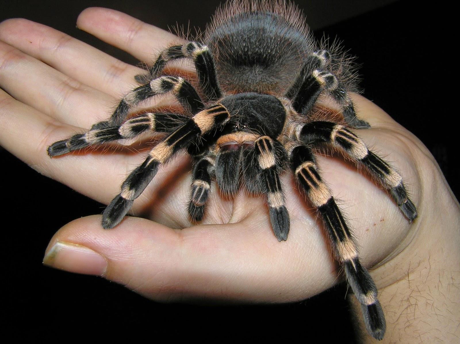 Fotografia enorme araña peluda en una mano