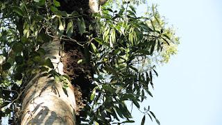 Heteropsis flexuosa, Titica