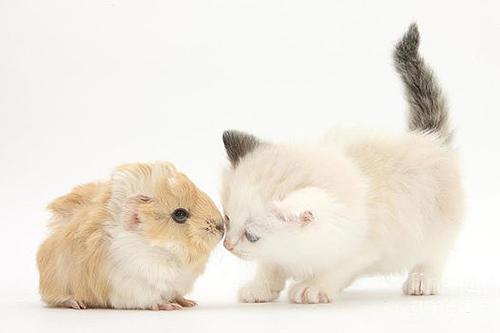 Foto met een kat en cavia