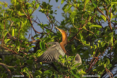 Anhinga bird photography