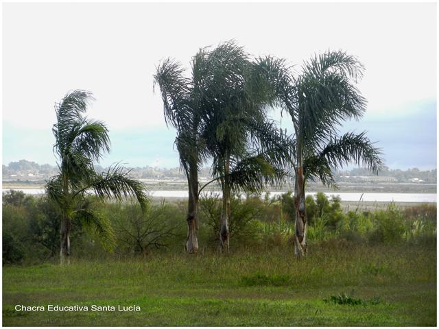Pindó un día ventoso - Chacra Educativa Santa Lucía