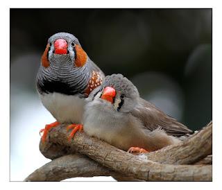 São aves que vivem em bandos ou pares, medem de cerca de 10 centímetros. Diferente das fêmeas, os machos possuem manchas laranjas ou acastanhadas na zona das bochechas, listras no peito, o bico e as patas são avermelhados e cantam. As fêmeas têm em geral, o bico e as patas são laranja claros, sem outras manchas senão as pretas, e apenas piam. Enquanto jovens, todos têm o bico marrom-escuro quase negro.