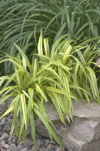05. Gold stripe flax lily