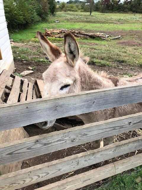 Donkey at Historic Round Barn in Adams County Pennsylvania