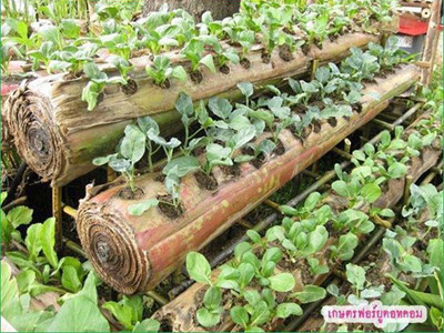 Tanam Sayur Dalam Batang Pisang