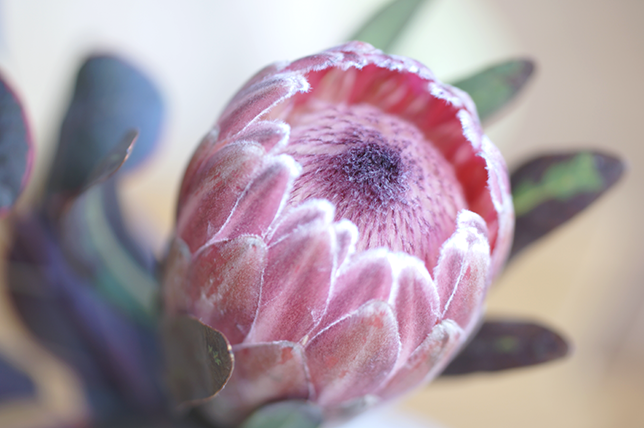 Ynas Design Blog | Flower Friday | Protea