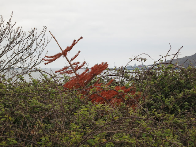 Dead and rust red Christmas tree tossed into brambles with Portland Port in the distance.