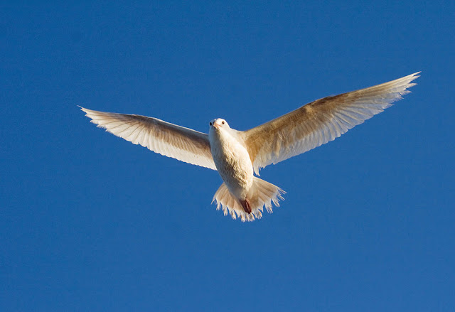 Albino Western Gull. San Diego California.