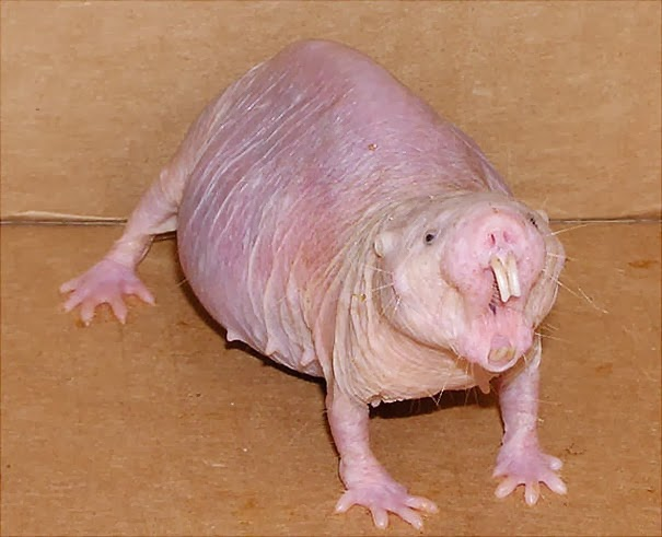 Naked Mole Rat - 22 Bizzarre Animals You Probably Didn't Know Exist