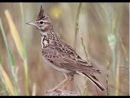 Burung Branjanga - Mengetahui Sukses Penangkaran Burung Branjanga dari Kandangn sampai Bahan sarang yang Baik