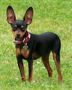 about dog miniature pinscher training your miniature pinscher to