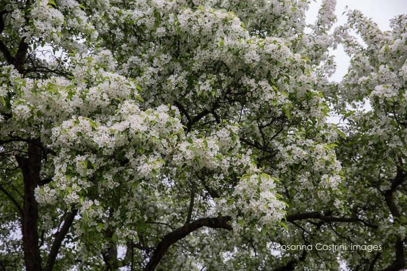 Manzano silvestre, Malus hupehensis en Hermannshof park