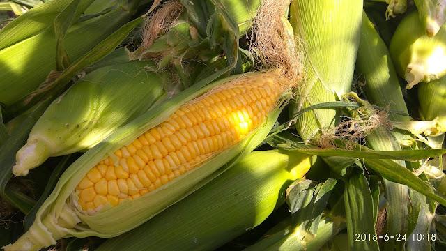 Cara menanam jagung berbuah besar berisi penuh hanya dalam polibag