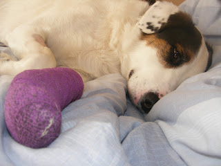 sore paw, corn, border collie cross dalmatian, operation