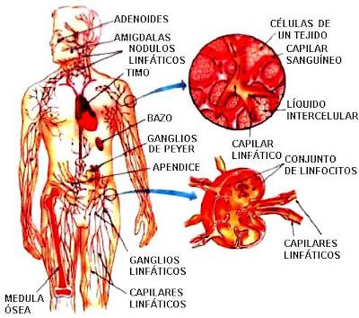 Ilustración del Sistema linfático y sus partes