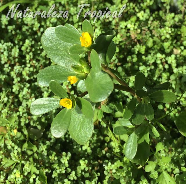 Otra imagen de la planta suculenta llamada Verdolaga, Portulaca oleracea