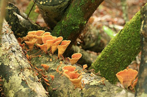 Jamur adalah contoh tumbuhan saprofit