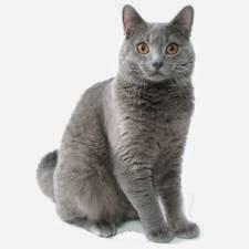 gato-chartreux-cartujo-cuidados-especiales