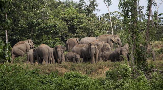 12 Ekor Gajah Mendekati Permukiman Warga Roworejo