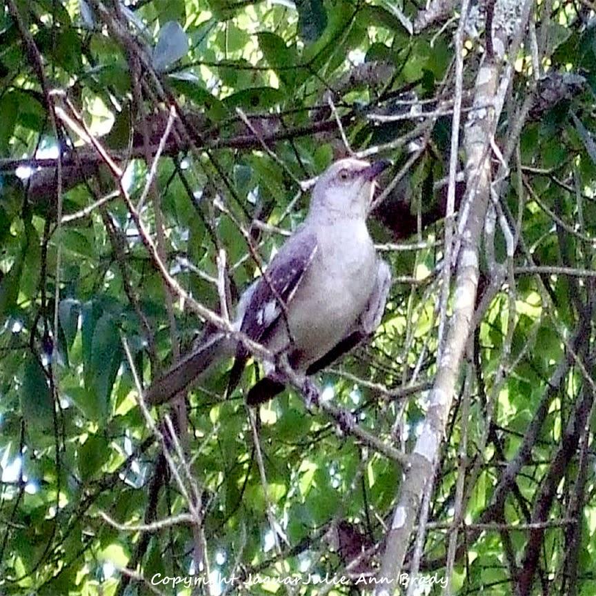 Adult Mockingbird Protective Behavior 2