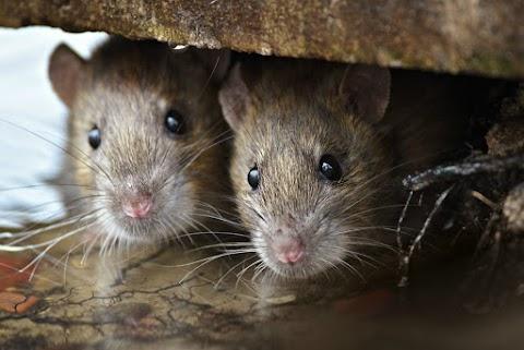 Patkányok szaladgálnak Óbuda utcáin
