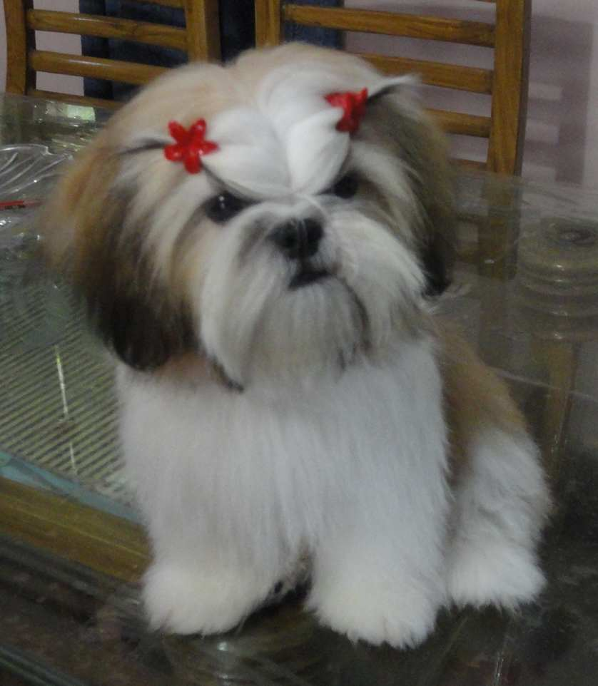 images of shih tzu haircuts amazing pets my pets 1620