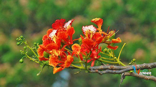 hoa phuong y nghia