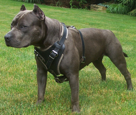 Cute Dogs: Black Pitbull Dog