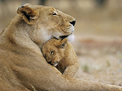 Lion Cub Love Normal Desktop Backgrounds,Stills,Wallpapers