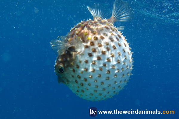 True Facts About The puffer fish