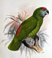 Amazona festiva: Amazona festiva