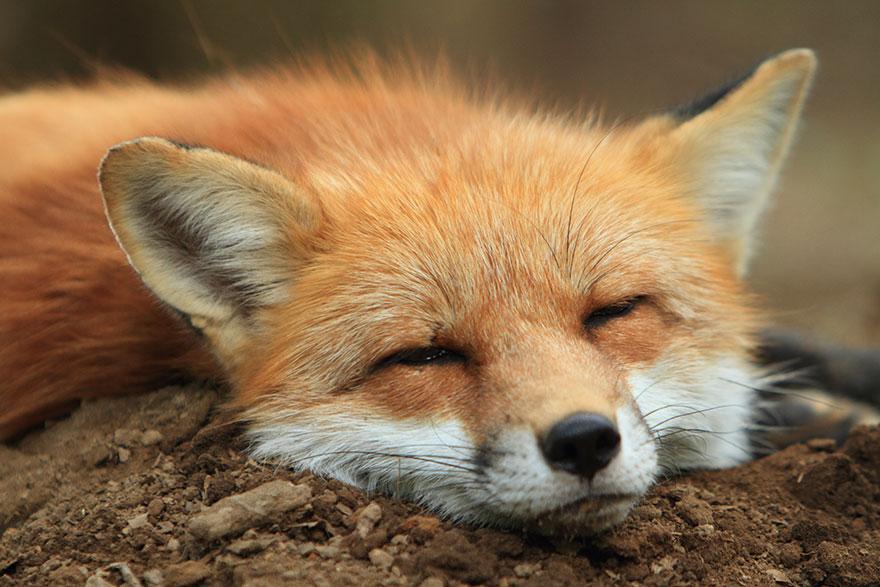 zao-fox-village-japan-11