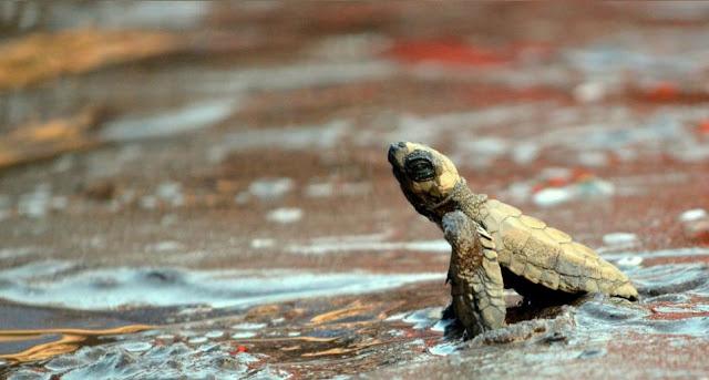 Turtle Festival