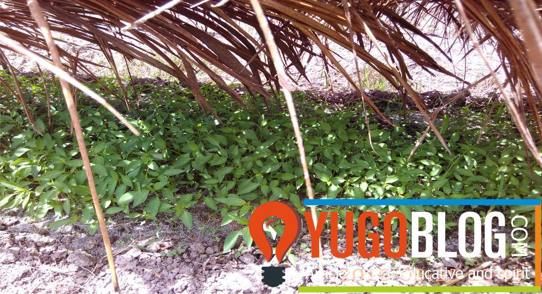 naungan pelepah kelapa