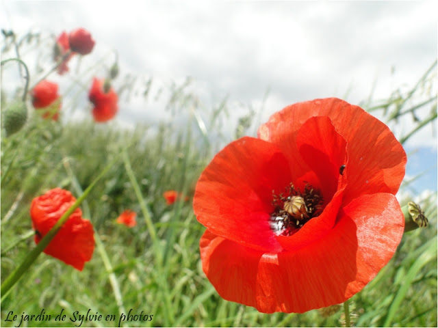photo de coquelicots des champs