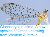 http://sciencythoughts.blogspot.co.uk/2015/12/glenochrysa-minima-new-species-of-green.html