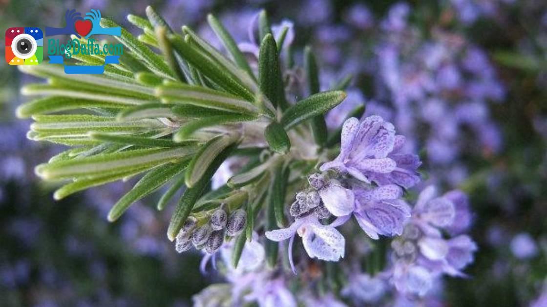 Bunga Rosemary tanaman pengusir nyamuk alami