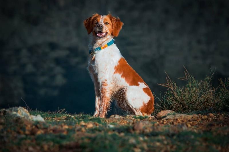 Épagneul Breton - Brittany dog