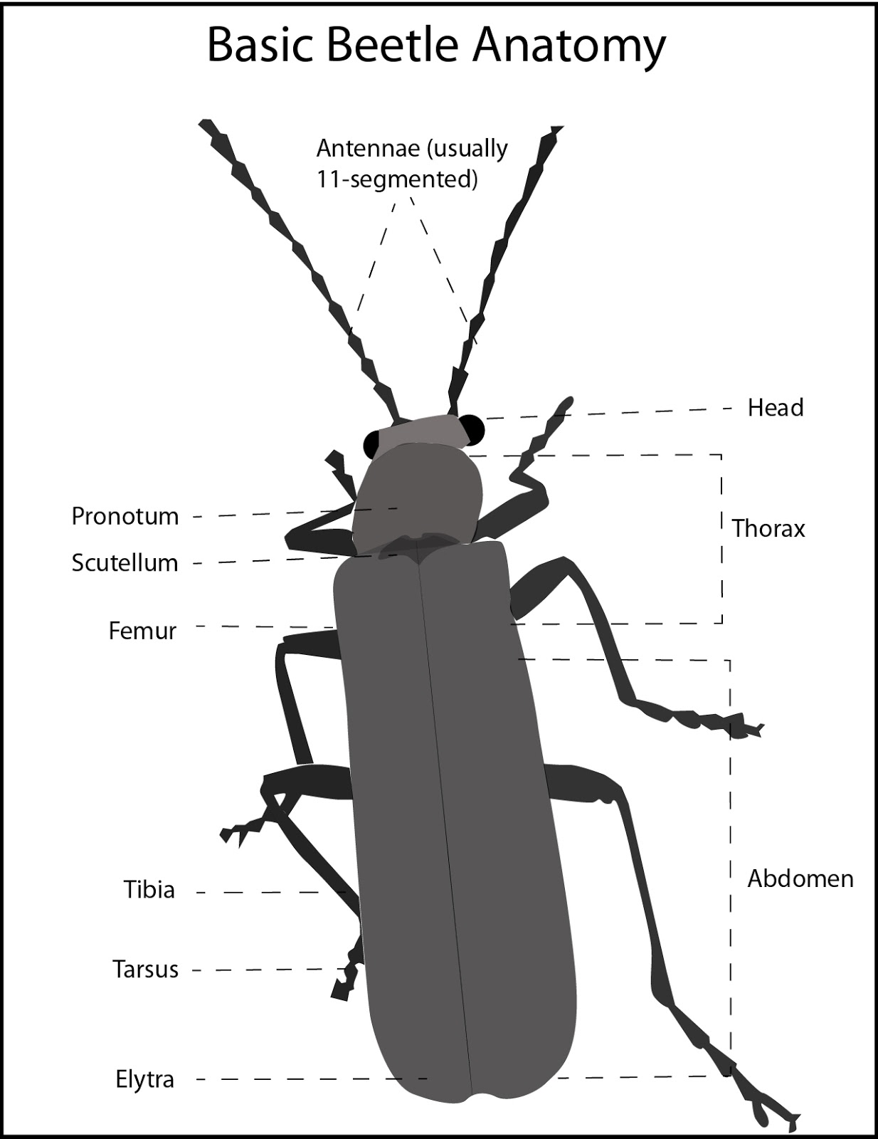 Diagram Of A Asian Beetles Anatomy - Asian