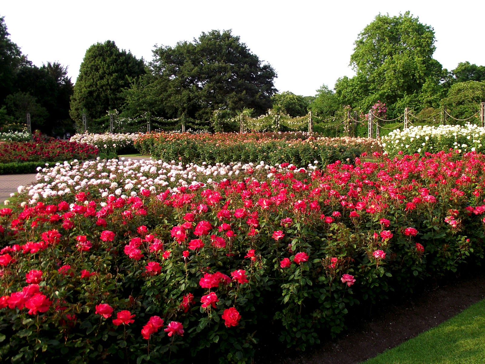 Roses In Garden: Borrowed Items: The Roses In Regent's Park
