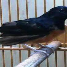 Penyakit Burung Murai Batu Dan Cara Penyembuhannya