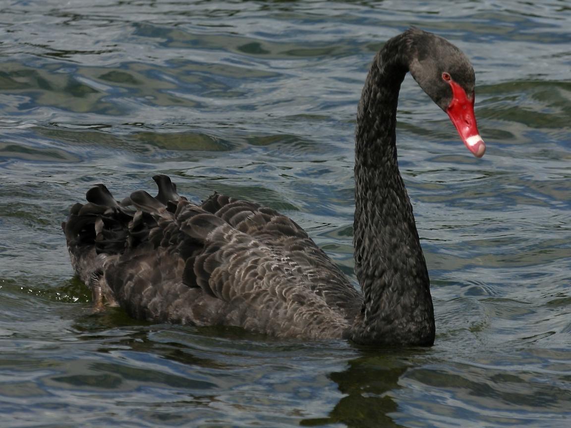 black swan animal - photo #1